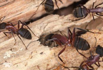 Extermination fourmis charpentière